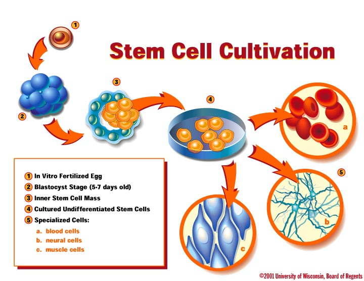 Stem cell cultivation graphic illustration of the process that is stem cell cultivation back ccuart Choice Image