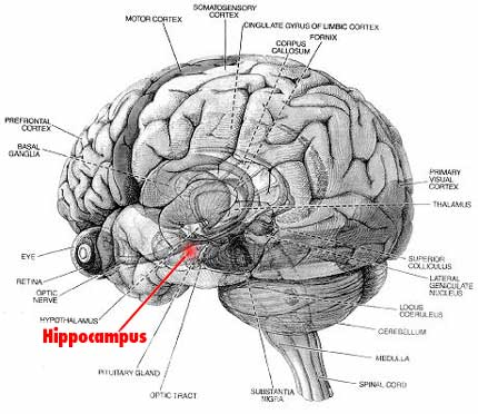 3 hip hip hippocampus diagram of the human brain ccuart Choice Image