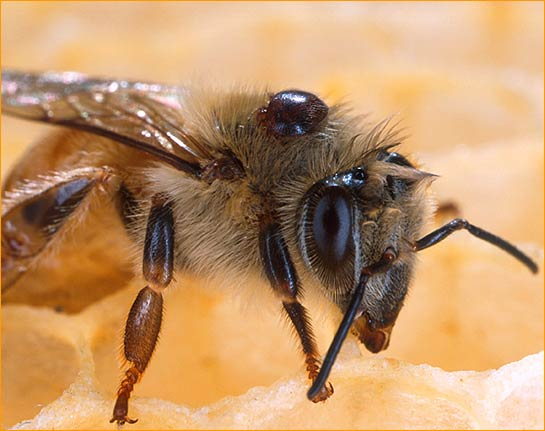 Study finds key to colony-collapse disorder