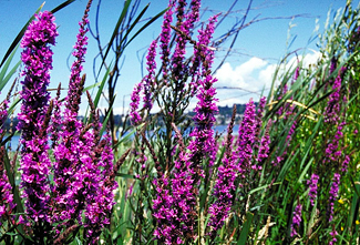 Cool science image tall stalks with purple flowers against blue sky mightylinksfo