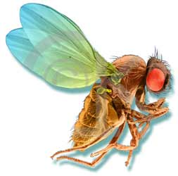Long Live the Long-Lived Fruitfly