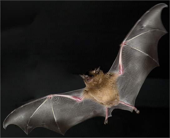 Flying with bats