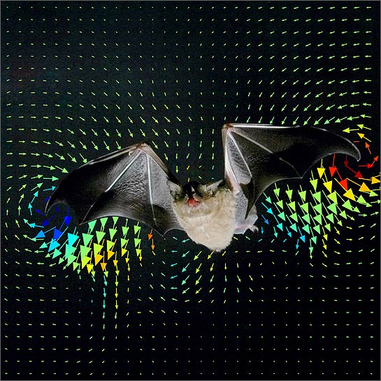 Multi Colored Arrows Indicated The Air Flow Around Pumping Wings Of A Bat