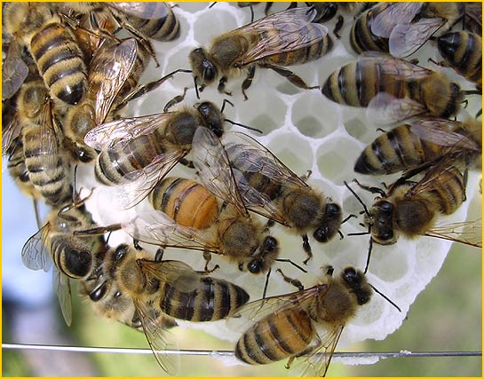 Polyandry: Bees do it. What's the big advantage?