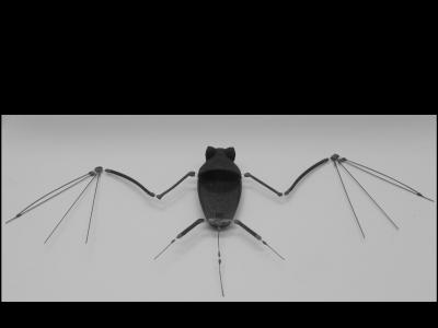 The skeleton of the robotic bat uses shape-memory metal alloy that is super-elastic for the joints, and smart materials that respond to electric current for the muscular system.