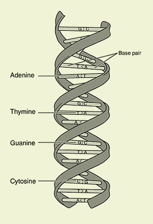 Double helix DNA drawing showing chemical components with their match on the opposing strands