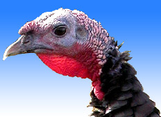 Thanksgiving: What's what with wild turkeys?