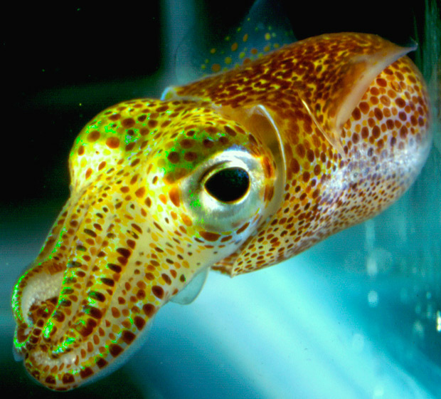 Close-up image of yellow and gold spotted squid with large dark eyes swimming
