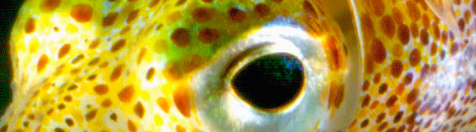 close-up of bobtail squid eye: black eye, yellow body with brown spots