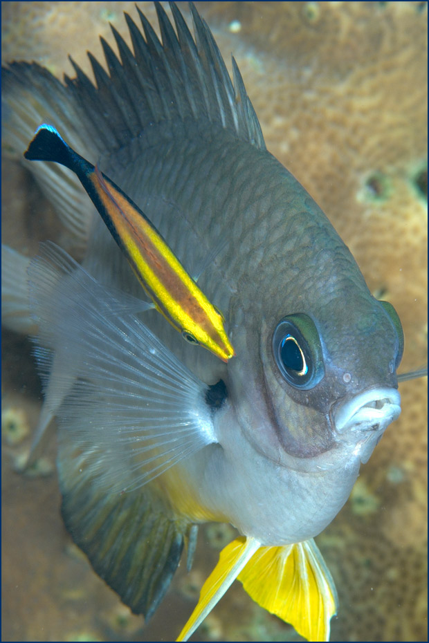 Grey fish with bright yellow fins swimming with a brown background