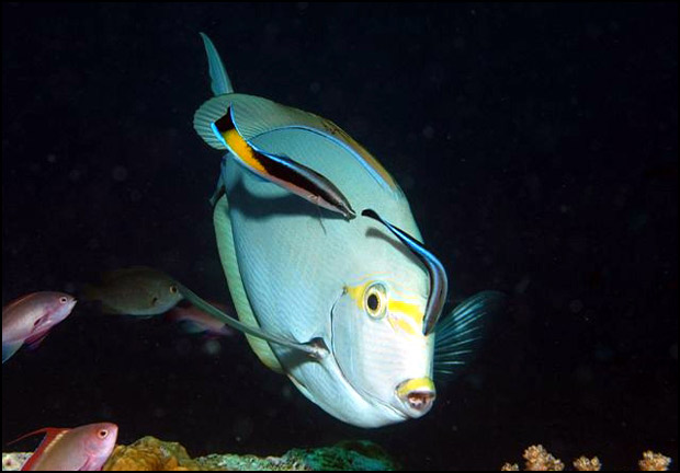 Light blue fish with bright orange and yellow markings swimming with smaller fish nearby