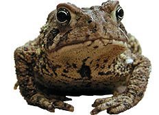 Tracking traveling toads