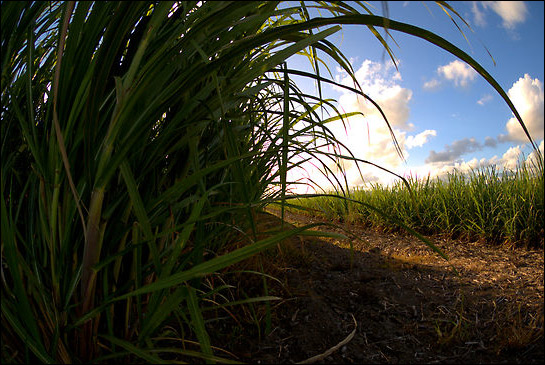A sugar cane farm in Northern New South Wales, Australia.