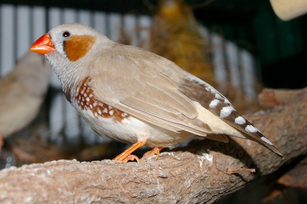 Bird with bright orange beak, brown spots on cheek and breast, white stripes on tail feather