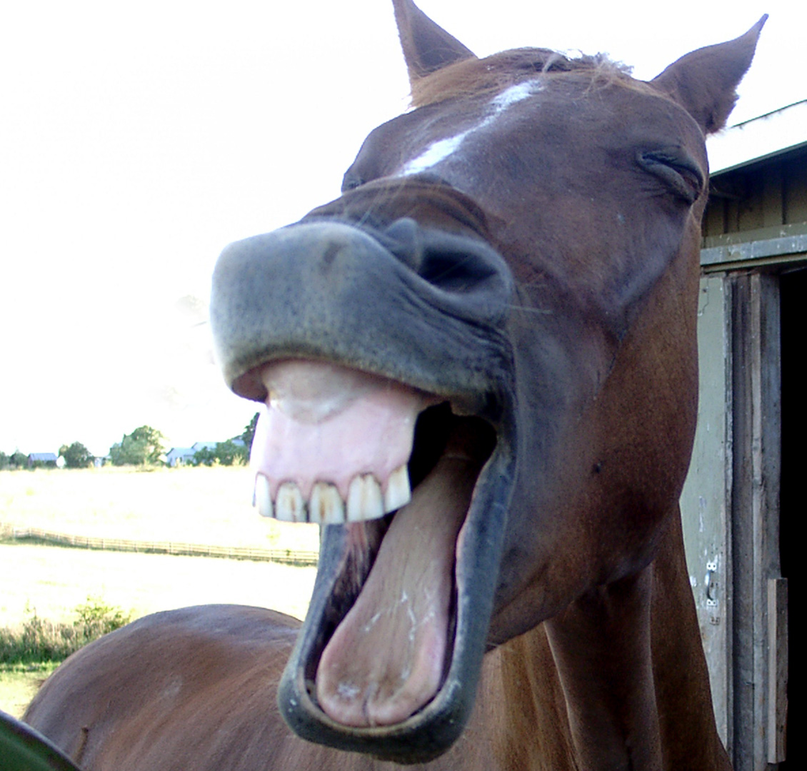 Toothy horse grins at camera, mouth wide open, lips exposing upper teeth.