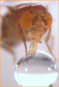 Closeup picture of light brown insect with orange eyes, tube-like mouth decending on droplet