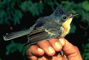 A small bird with dark feathers and a light yellow chest, perched on a person's hand