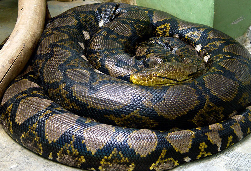 Large coiled snake with black diamond shaped markings, mostly light brown with some yellow