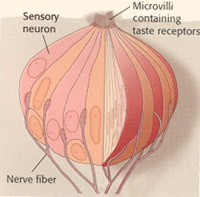 A bulb shaped pink diagram of taste bud, showing nerve endings, sensory neurons and taste receptors
