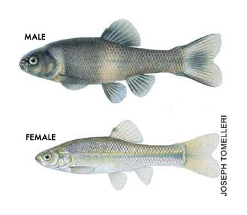 Drawing of a male and female fathead minnow; male is larger and darker in color