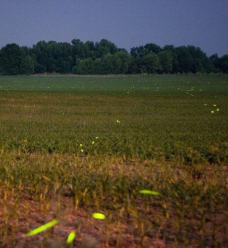 Large grassy field speckled with glowing fireflies, trees in background.