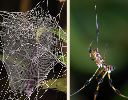 Close-up of spider web on left, spider with long yellow and black legs hanging upside-down on right