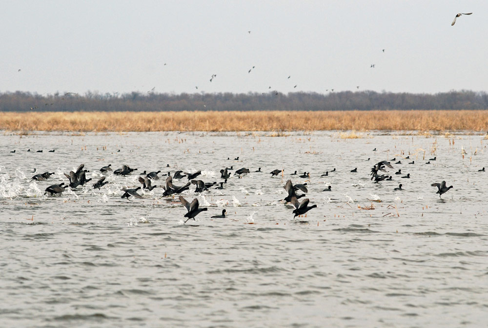 Several dozen black waterbirds prepare to take flight, running across a lake with golden grass in the background