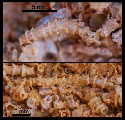 Two photos, top and bottom, of fossilized skeletal system, tubular brown ridged bone.