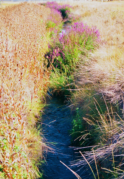 Clusters of bright purple flowers along a stream, surrounded by grasses.