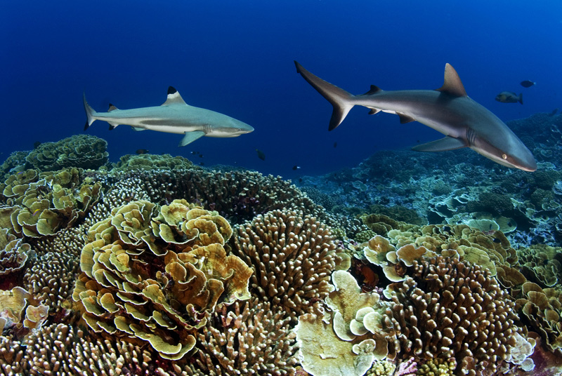 Two sharks swim over yellow-ish coral reef, several small fish swim in background