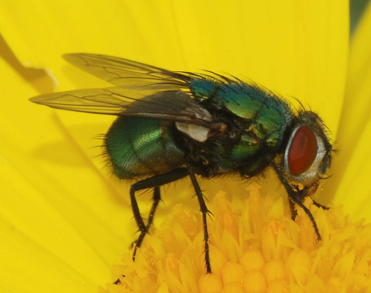 Close-up of green-bodied fly with big red eyes perched on bright yellow flower