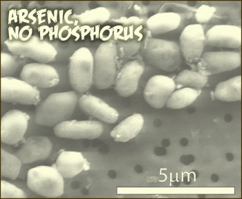 Dozens of white, rice-like organisms clustered on porous surface