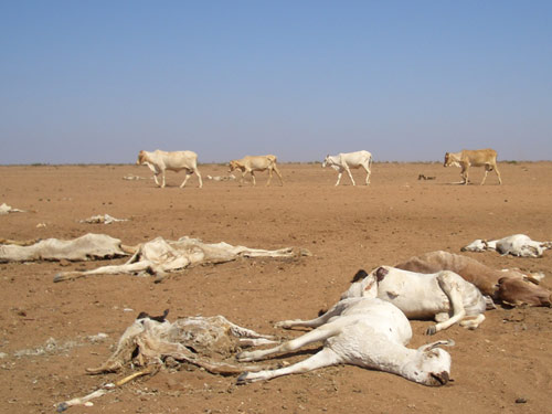 Flat desert landscape with nine dead cattle in foreground and five live cattle walking in line behind them