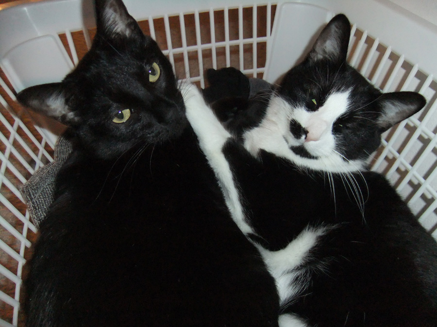 One black cat and one black-and-white spotted cat laying side-by-side in a white laundry basket