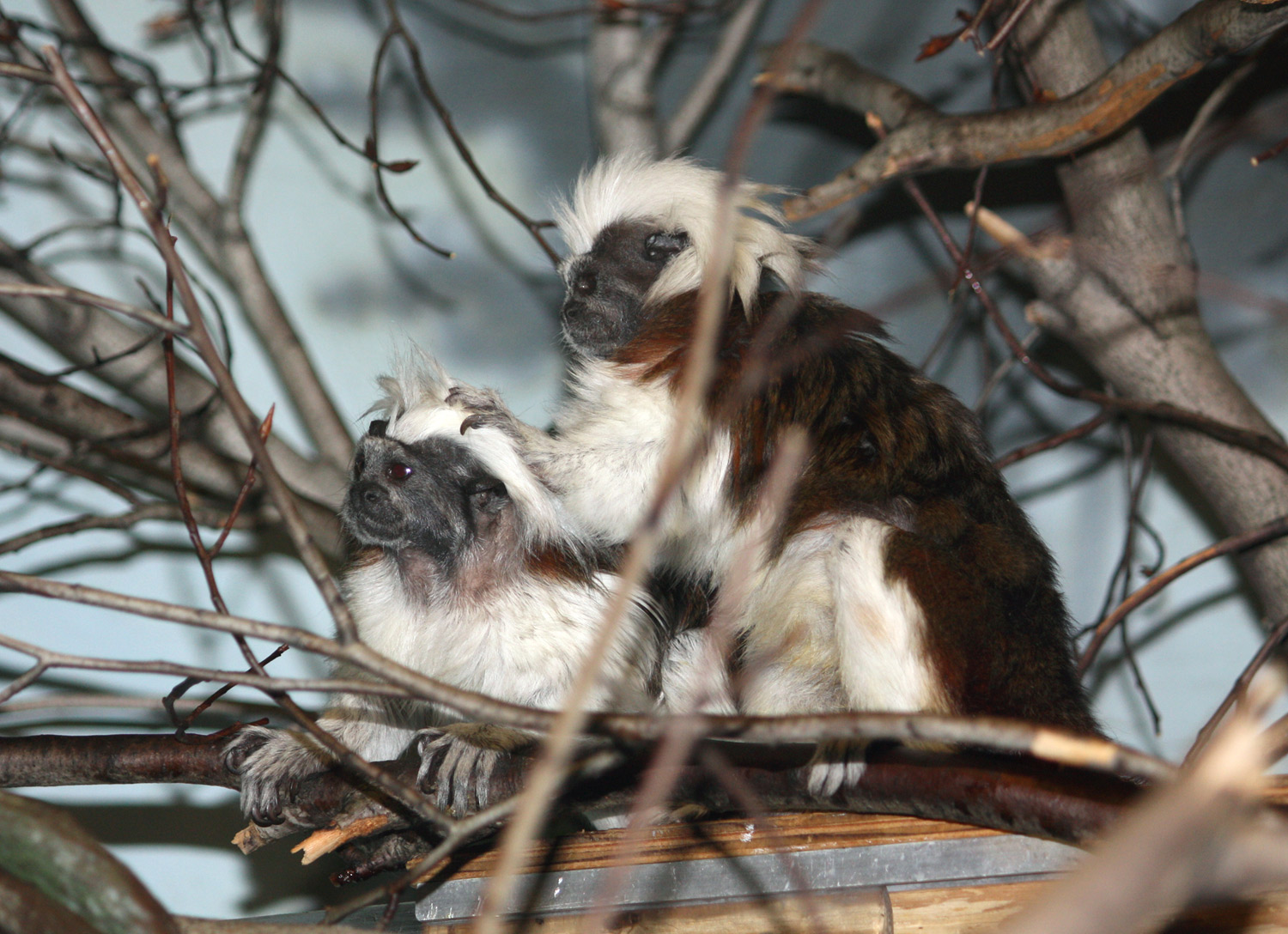 Two furry brown and white primates sit side-by-side on branch, one has hand on other's head