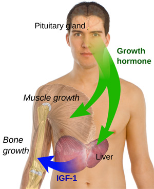 Upper half of naked man, growth hormone arrows from brain to liver and muscle, IGF-1 arrow from liver to bone