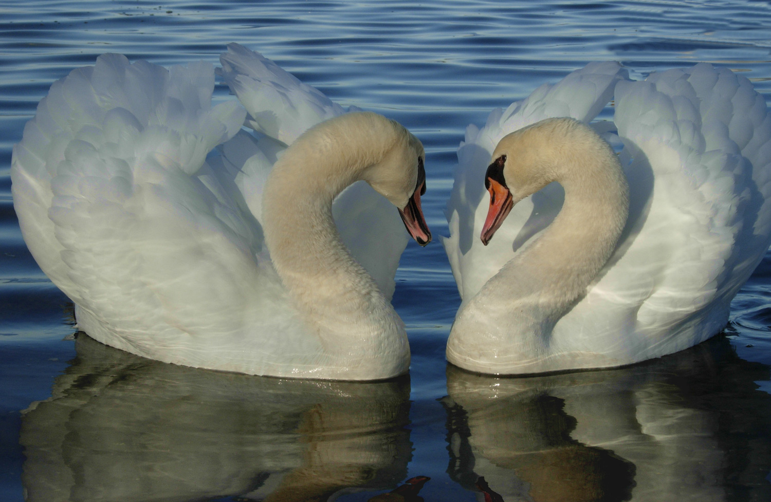 Two white swans with orange beaks on water, facing each other with necks arched and wings curved