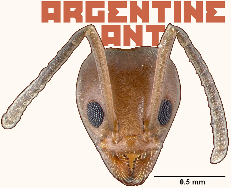 Reddish-brown head of ant, two furry feelers next to black eyes, short pincers for mouth. 'Argentine Ant' text behind head.