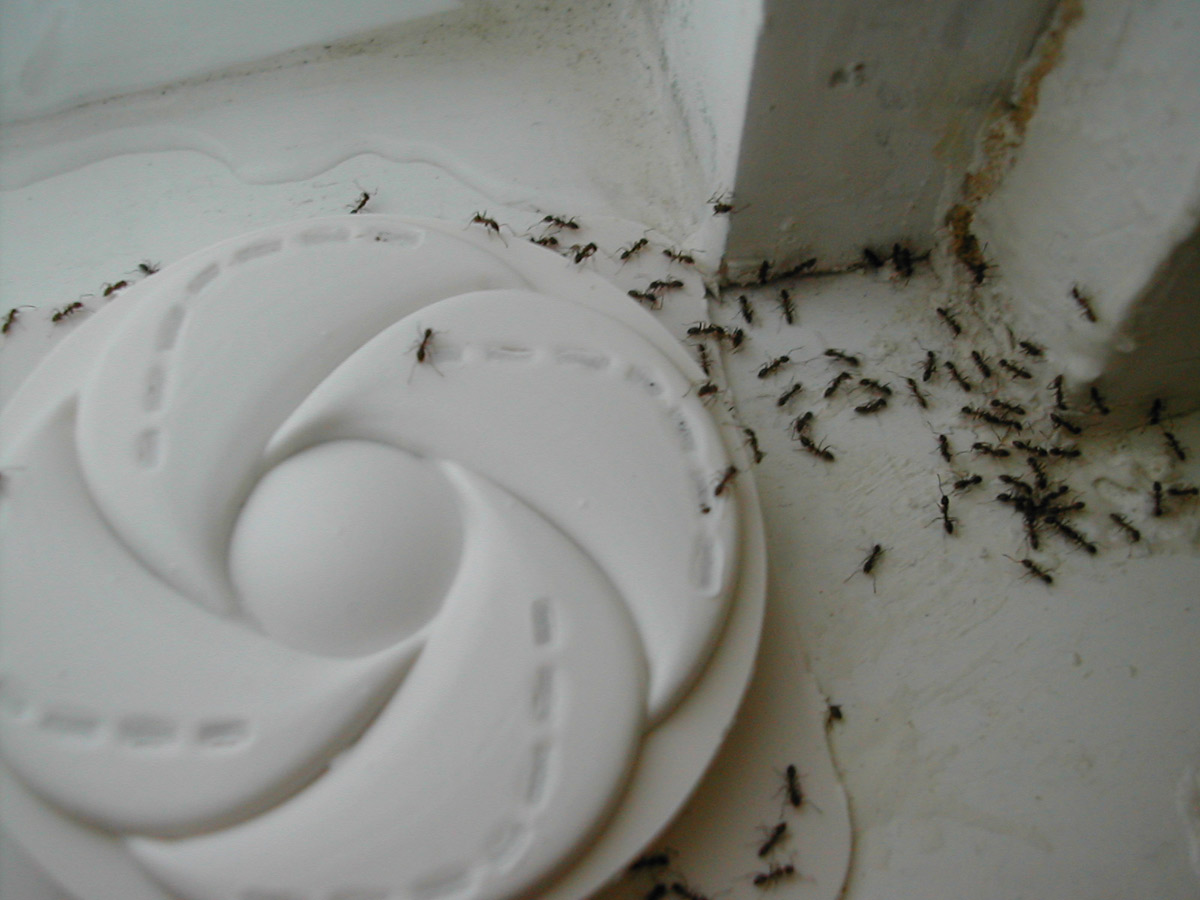 Round white ant trap in corner of room on floor, dozens of ants crawling around.