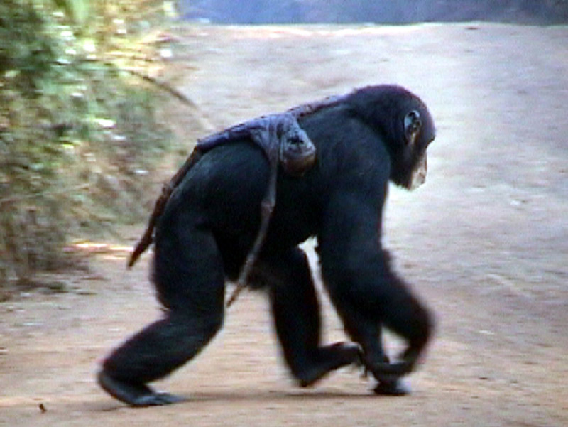 Chimp walking on all fours with mummified baby chimp draped on her back