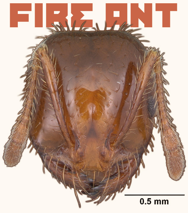 Reddish-brown, shiny head of ant, two furry feelers extend from top of head, short pincers for mouth, text behind head reads: 'Fire ant'