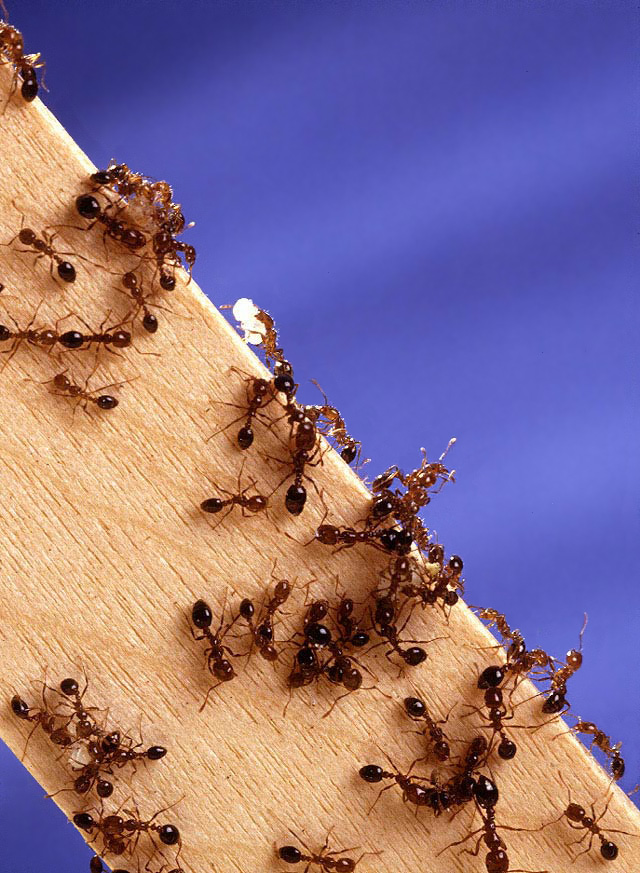 A couple dozen ants crawling all over a flat wooden stick