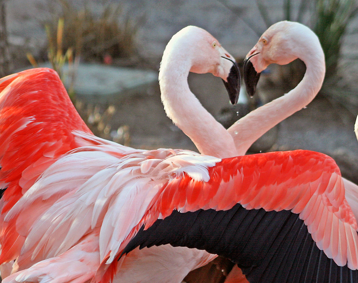 Two flamingos with heads coming together in the shape of a heart. Bird in front has wings out-stretched.