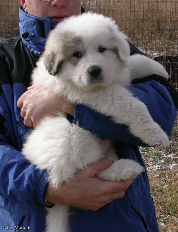 large, white (Great Pyrenees) puppy held in arms of man with blue coat