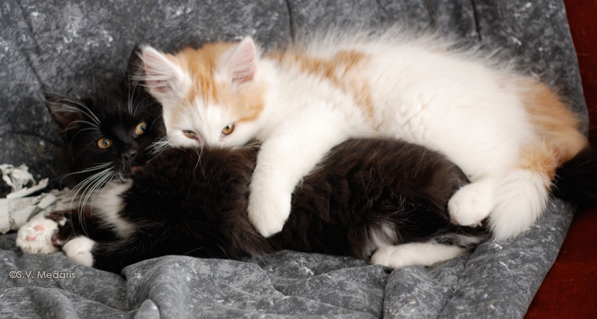 orange/white kitten cuddles with one arm around black kitten