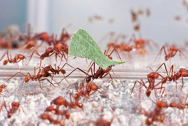 Dozens of red ants crawling, one in center carrying a piece of green leaf