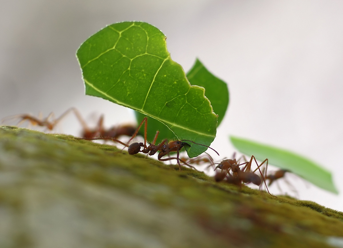 Closeup of half dozen ants, three of which are carrying pieces of leaves
