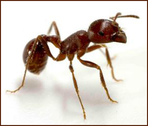 Close up of dark red ant standing alone