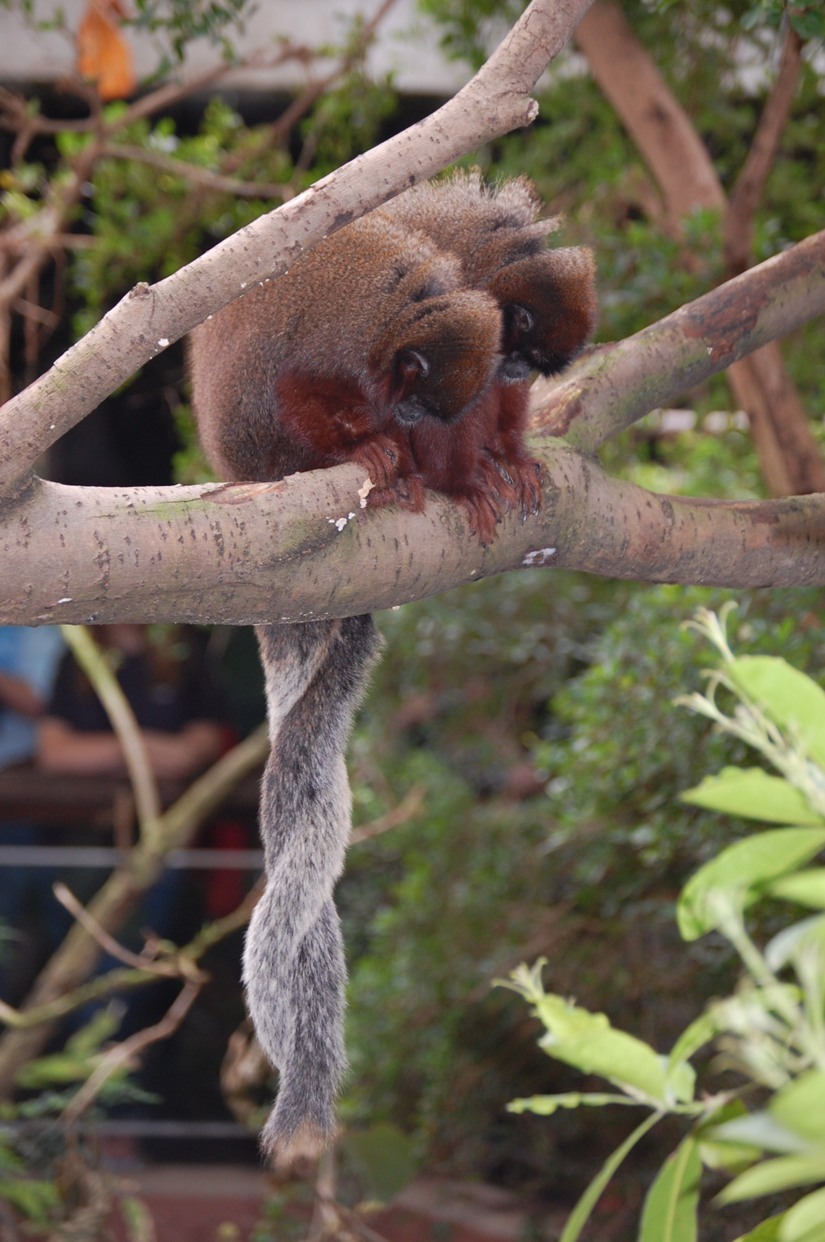 Two reddish-brown monkeys sit side-by-side on branch looking down, their long, furry gray tails twisted together