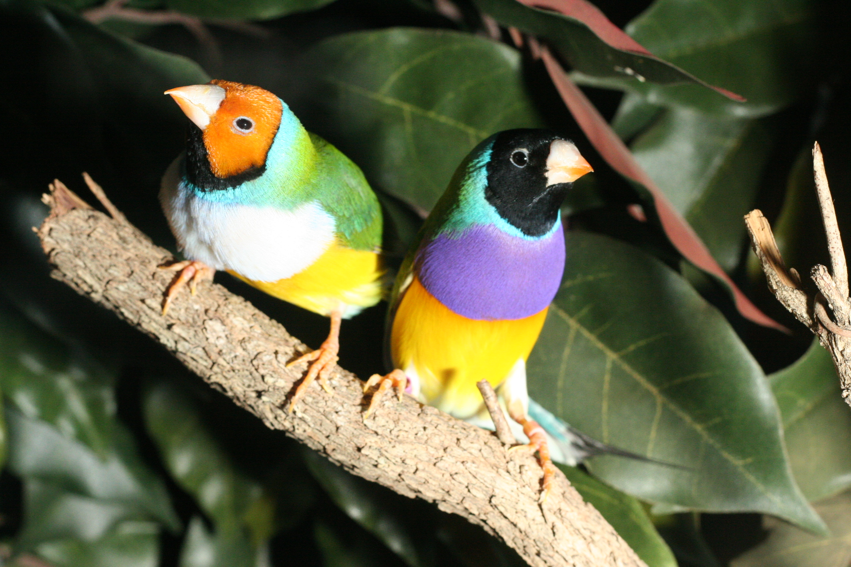 Two colorful birds sitting on tree branch, one with black face and one with orange face